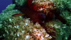 Moray eel, mediterranean sea Stock Footage