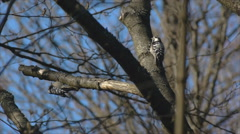 Lesser-spotted woodpecker females chasing in a forest Stock Footage
