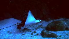 Eagle ray swimming through underwater tunnel, Pacific Ocean Stock Footage