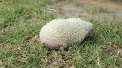 Hedgehog pooping Stock Footage