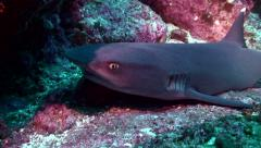 Whitetip reefshark resting on reef Stock Footage