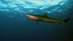 Silky shark Stock Footage