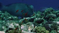 Humphead parrotfish Stock Footage
