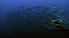 School of barracudas Stock Footage