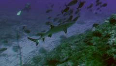 Whitetip reefshark swimming over coral reef Stock Footage