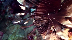 Lion fish coral reef red sea Stock Footage