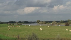 Stock Video Footage of Charolais Cattle grazing in floodplain river IJssel, Veessen, The Netherlands