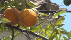 Close up orange fruits in orange tree in a garden. Stock Footage