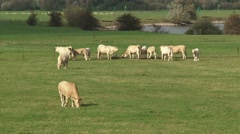 Stock Video Footage of Charolais Cattle grazing in floodplain river IJssel + zoom out