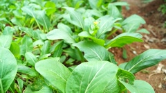 Green cabbage growth in vegetable land in Stock Footage