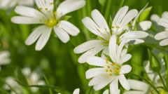 Cerastium flowers (mouse-ear chickweed) on meadow close up and zoom Stock Footage