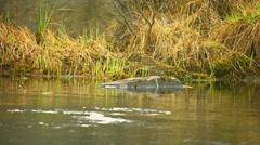 Pectoral sandpiper (calidris melanotos) on the river. russia northwest Stock Footage