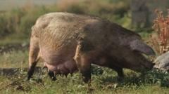 Big wild pig Stock Footage
