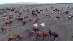 A herd of cows. Mountain valley. Stock Footage