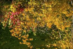 Yellow red leaves fall colors green water reflection abstract wenatchee river Stock Photos