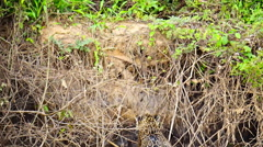 Stock Video Footage of Jaguar getting out of river at riverbank in Pantanal wetlands