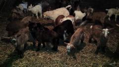 Funny goats in barn, Capra aegagrus hircus Stock Footage