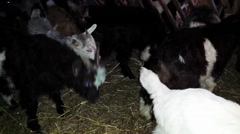 Goats, Capra aegagrus hircus Stock Footage