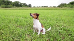 Jack russel dog sit up and beg Stock Footage