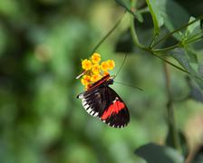 postman butterfly - stock photo