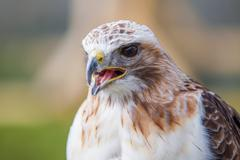 red tailed hawk with beak open - stock photo