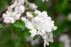 Branch of flowering apple-tree on a background a green garden. Stock Photos