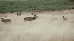 Two red deer stag fighting Stock Footage