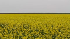 Colza field, Rapeseed, Brassica napus Stock Footage