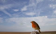 robin perching on a post with a blue sky background - stock photo