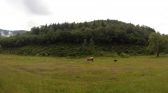 Green field near the hill on which the grazing cow and goat Stock Footage