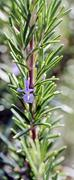 green rosemary with flower - stock photo