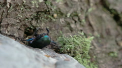 Blue greenish shiny dung beetle trying to curl up and crawl fs700 4k Stock Footage