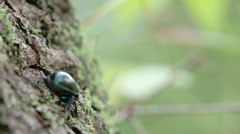 A dung beetle crawling on a tree with its tiny legs fs700 4k Stock Footage