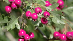 Closer look of the shiny red hawthorn fruits fs700 4k Stock Footage