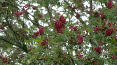 Bunch of sorbus fruits bloomed on its trees fs700 4k Stock Footage