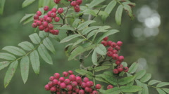 Bunch of sorbus aucuparia fruits that are pinkish in color fs700 4k Stock Footage