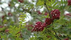 Lots of sorbus fruits on the european rowan tree fs700 4k Stock Footage