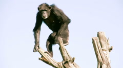 Pan troglodytes or chimpanzee is going down from the tree fs700 4k Stock Footage