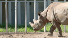 A big brown rhinoceros walking on the yard fs700 4k Stock Footage