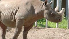 The  big body rhinoceros walking on inside his cage fs700 4k Stock Footage