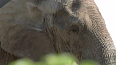 An african bush elephant close up view fs700 4k Stock Footage