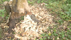The trunk of the tree is eaten by the beaver fs700 4k Stock Footage