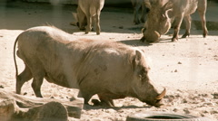 A small desert warthog walking and then lying on the mud fs700 4k Stock Footage