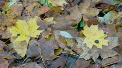 Scattered maple leaves on the ground on autumn fs700 4k Stock Footage