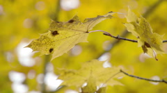 A golden maple leaf from the stem fs700 4k Stock Footage