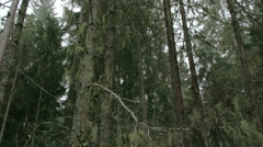 Lots of usnea hanging on the trees in the forest fs700 4k Stock Footage