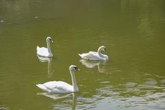 White Swans At Lake Stock Photos