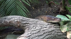 4k Python reticulatus very closeup slow moving over tree Stock Footage