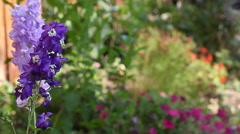 Stock Video Footage of Delphiniums in a flower border