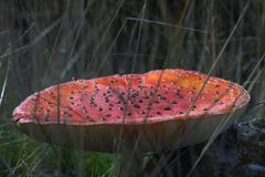 mushroom fly agaric - stock photo